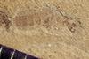 http://mczbase.mcz.harvard.edu/specimen_images/entomology/paleo/large/PALE-41415_Arthropoda.jpg
