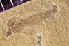http://mczbase.mcz.harvard.edu/specimen_images/entomology/paleo/large/PALE-41417_Arthropoda.jpg