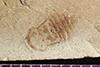http://mczbase.mcz.harvard.edu/specimen_images/entomology/paleo/large/PALE-41502_Arthropoda.jpg