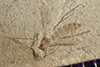http://mczbase.mcz.harvard.edu/specimen_images/entomology/paleo/large/PALE-41547_Arthropoda.jpg