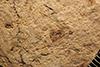 http://mczbase.mcz.harvard.edu/specimen_images/entomology/paleo/large/PALE-4168_Anconatus_dorsuosus_type_1.jpg