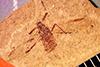 http://mczbase.mcz.harvard.edu/specimen_images/entomology/paleo/large/PALE-4171_Sbenaphis_uhleri_type_2.jpg