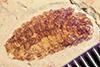 http://mczbase.mcz.harvard.edu/specimen_images/entomology/paleo/large/PALE-41939_Arthropoda.jpg