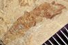http://mczbase.mcz.harvard.edu/specimen_images/entomology/paleo/large/PALE-41940_Arthropoda.jpg