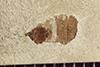 http://mczbase.mcz.harvard.edu/specimen_images/entomology/paleo/large/PALE-41971_Arthropoda.jpg