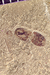 http://mczbase.mcz.harvard.edu/specimen_images/entomology/paleo/large/PALE-41974_Arthropoda.jpg