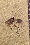 http://mczbase.mcz.harvard.edu/specimen_images/entomology/paleo/large/PALE-41990_Arthropoda.jpg