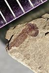 http://mczbase.mcz.harvard.edu/specimen_images/entomology/paleo/large/PALE-41994_Arthropoda.jpg
