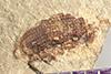 http://mczbase.mcz.harvard.edu/specimen_images/entomology/paleo/large/PALE-41998_Arthropoda.jpg