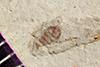 http://mczbase.mcz.harvard.edu/specimen_images/entomology/paleo/large/PALE-42027_Arthropoda.jpg
