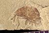 http://mczbase.mcz.harvard.edu/specimen_images/entomology/paleo/large/PALE-42034_Arthropoda.jpg