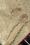 http://mczbase.mcz.harvard.edu/specimen_images/entomology/paleo/large/PALE-42056_Arthropoda.jpg