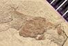 http://mczbase.mcz.harvard.edu/specimen_images/entomology/paleo/large/PALE-42070_Arthropoda.jpg