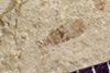 http://mczbase.mcz.harvard.edu/specimen_images/entomology/paleo/large/PALE-42098_Arthropoda.jpg