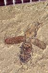 http://mczbase.mcz.harvard.edu/specimen_images/entomology/paleo/large/PALE-42118_Arthropoda.jpg