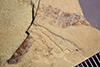 http://mczbase.mcz.harvard.edu/specimen_images/entomology/paleo/large/PALE-42161_Arthropoda.jpg