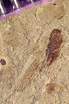 http://mczbase.mcz.harvard.edu/specimen_images/entomology/paleo/large/PALE-42170_Arthropoda.jpg
