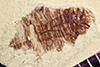 http://mczbase.mcz.harvard.edu/specimen_images/entomology/paleo/large/PALE-42179_Arthropoda.jpg