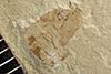 http://mczbase.mcz.harvard.edu/specimen_images/entomology/paleo/large/PALE-42190_Arthropoda.jpg