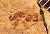 http://mczbase.mcz.harvard.edu/specimen_images/entomology/paleo/large/PALE-4219_Rhepocoris_praevalens_type.jpg