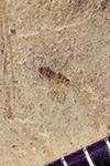http://mczbase.mcz.harvard.edu/specimen_images/entomology/paleo/large/PALE-42259_Arthropoda.jpg