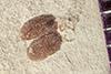 http://mczbase.mcz.harvard.edu/specimen_images/entomology/paleo/large/PALE-42317_Arthropoda.jpg