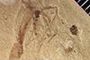 http://mczbase.mcz.harvard.edu/specimen_images/entomology/paleo/large/PALE-42361_Arthropoda.jpg