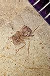 http://mczbase.mcz.harvard.edu/specimen_images/entomology/paleo/large/PALE-42391_Arthropoda.jpg