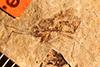http://mczbase.mcz.harvard.edu/specimen_images/entomology/paleo/large/PALE-4239_Rhepocoris_praevalens_type.jpg