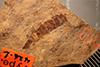 http://mczbase.mcz.harvard.edu/specimen_images/entomology/paleo/large/PALE-426b_Labiduromma_avia_type.jpg