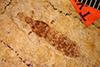 http://mczbase.mcz.harvard.edu/specimen_images/entomology/paleo/large/PALE-428_Labiduromma_avia_type.jpg
