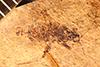http://mczbase.mcz.harvard.edu/specimen_images/entomology/paleo/large/PALE-4300_Rhepocoris_praevalens_type.jpg