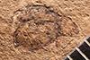 http://mczbase.mcz.harvard.edu/specimen_images/entomology/paleo/large/PALE-4311_Chrysomela_vesperalis_holotype_1.jpg
