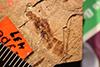 http://mczbase.mcz.harvard.edu/specimen_images/entomology/paleo/large/PALE-437_Labidura_tertiaria.jpg