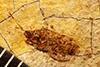 http://mczbase.mcz.harvard.edu/specimen_images/entomology/paleo/large/PALE-4401_Nysius_vecula_type.jpg