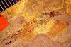 http://mczbase.mcz.harvard.edu/specimen_images/entomology/paleo/large/PALE-441_Labiduromma_exsulatum_type_2.jpg