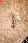 http://mczbase.mcz.harvard.edu/specimen_images/entomology/paleo/large/PALE-4502_Closterocoris_elegans_type.jpg