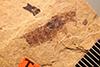 http://mczbase.mcz.harvard.edu/specimen_images/entomology/paleo/large/PALE-450_Labiduromma_exsulatum_type_1.jpg