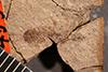 http://mczbase.mcz.harvard.edu/specimen_images/entomology/paleo/large/PALE-455_Labiduromma_labens_type_1.jpg
