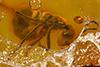 http://mczbase.mcz.harvard.edu/specimen_images/entomology/paleo/large/PALE-4637_Iridomyrmex_samlandicus_cotype.jpg