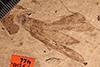http://mczbase.mcz.harvard.edu/specimen_images/entomology/paleo/large/PALE-466_Taphacris_reliquata_holotype_1.jpg