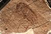 http://mczbase.mcz.harvard.edu/specimen_images/entomology/paleo/large/PALE-474_Lithymnetes_guttatus_type.jpg