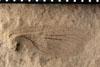 http://mczbase.mcz.harvard.edu/specimen_images/entomology/paleo/large/PALE-4888_Liomopterum_ornatum_etho.jpg