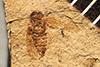 http://mczbase.mcz.harvard.edu/specimen_images/entomology/paleo/large/PALE-490_Jassopsis_evidens_holotype.jpg