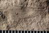 http://mczbase.mcz.harvard.edu/specimen_images/entomology/paleo/large/PALE-4925_Phenopterum_elongatum_dry-PartA.jpg