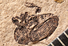 http://mczbase.mcz.harvard.edu/specimen_images/entomology/paleo/large/PALE-5003_Rhysosternum_longirostre_type.jpg