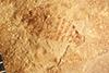 http://mczbase.mcz.harvard.edu/specimen_images/entomology/paleo/large/PALE-5012_Palecphora_maculata_type_2.jpg