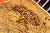 http://mczbase.mcz.harvard.edu/specimen_images/entomology/paleo/large/PALE-5056_Nysius_stratus_type.jpg