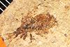 http://mczbase.mcz.harvard.edu/specimen_images/entomology/paleo/large/PALE-513_Heeria_lapidosa_type.jpg