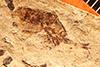 http://mczbase.mcz.harvard.edu/specimen_images/entomology/paleo/large/PALE-514_Heeria_lapidosa_type.jpg